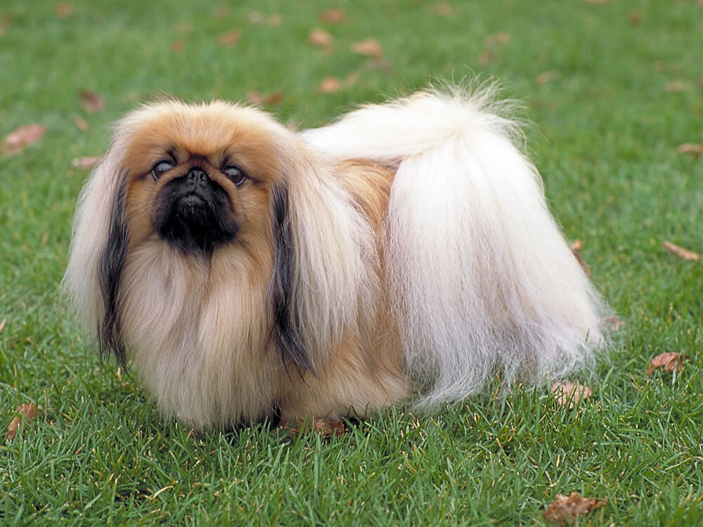 small dog breed myth 2