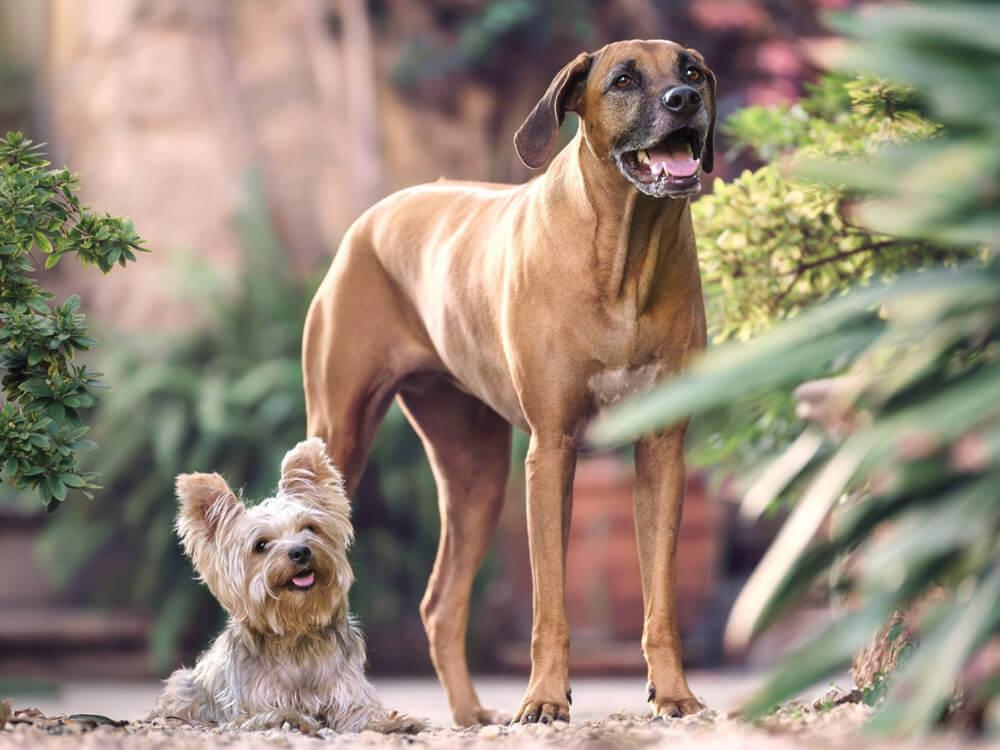 small dog breed myth 4