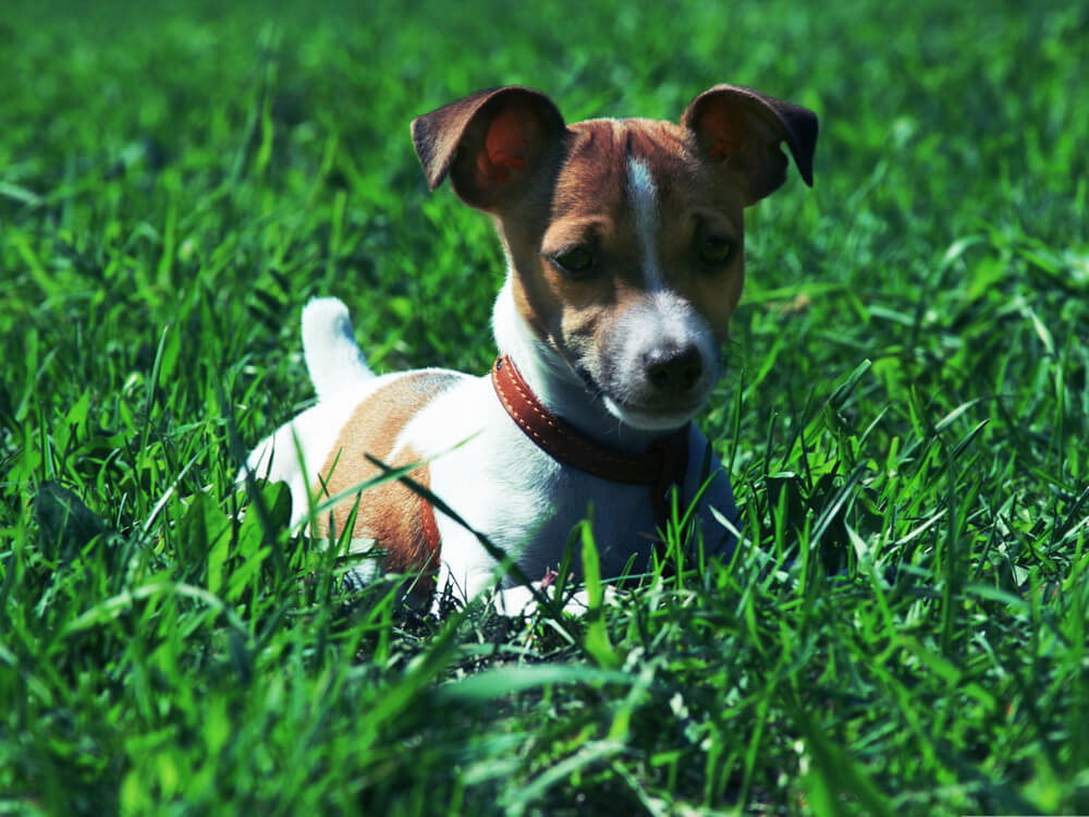 small dog breed myth 5