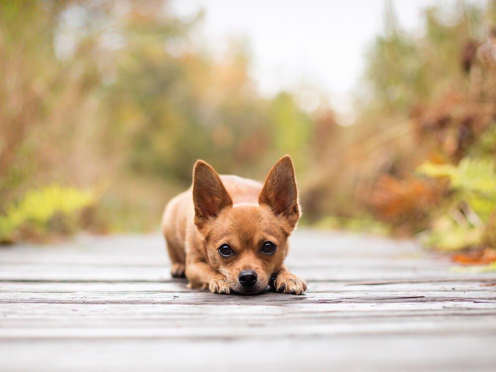 small dog breed myth 6