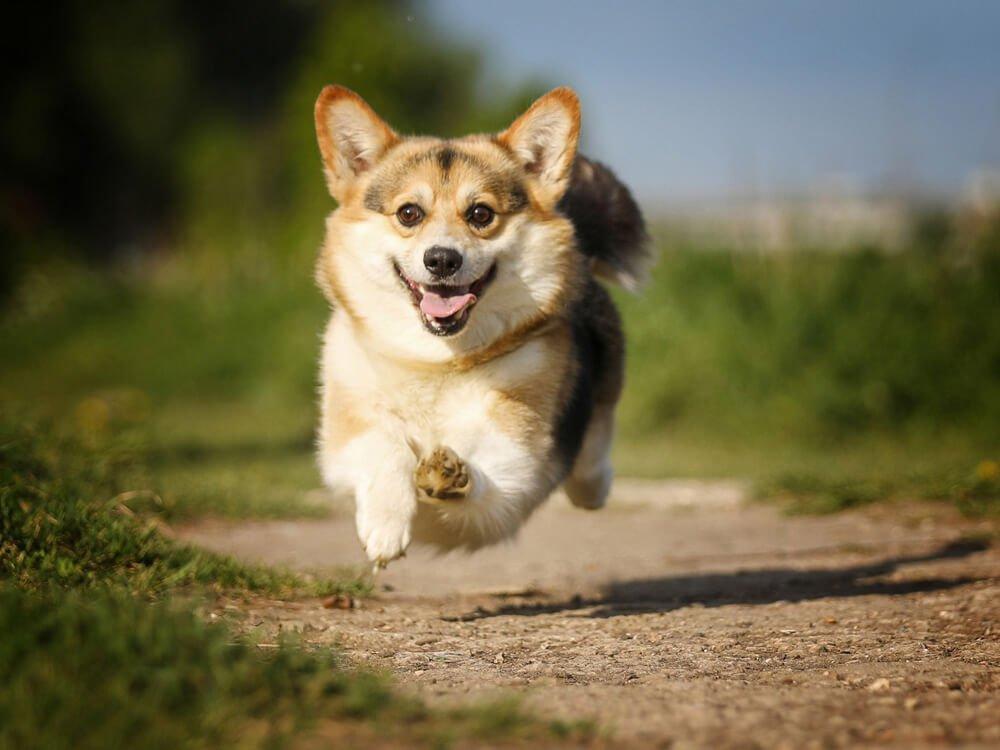 small dog breed myth