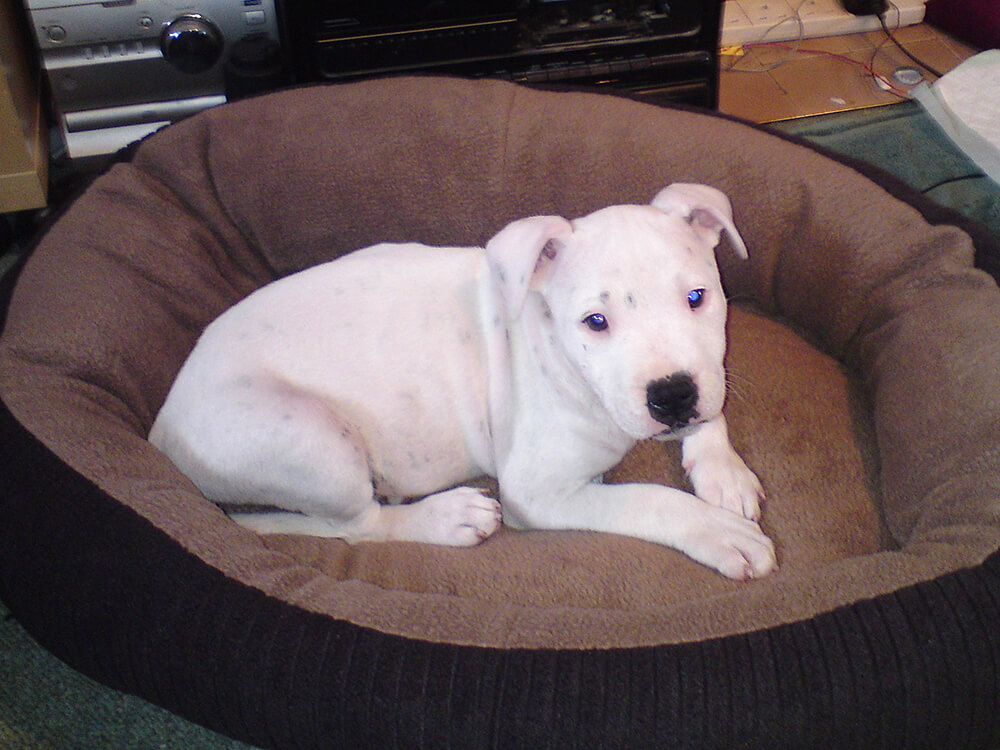 staffordshire bull terrier puppy dental care