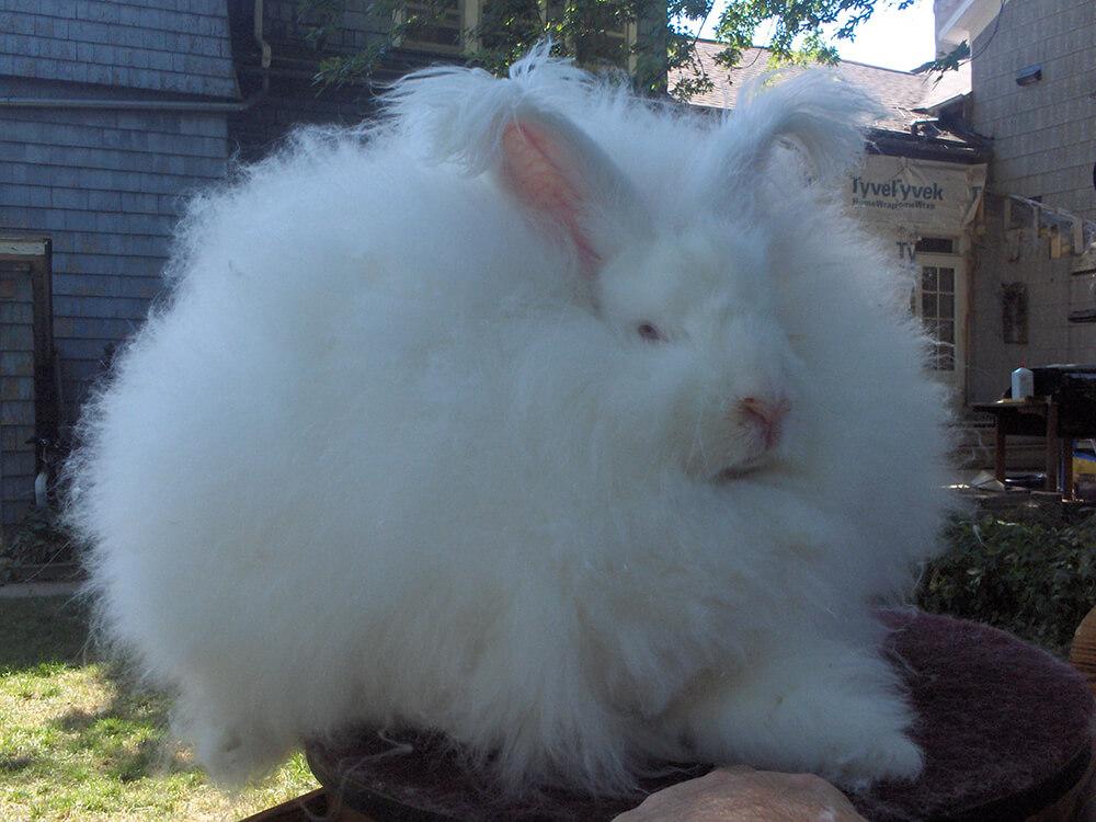 types of angora rabbits