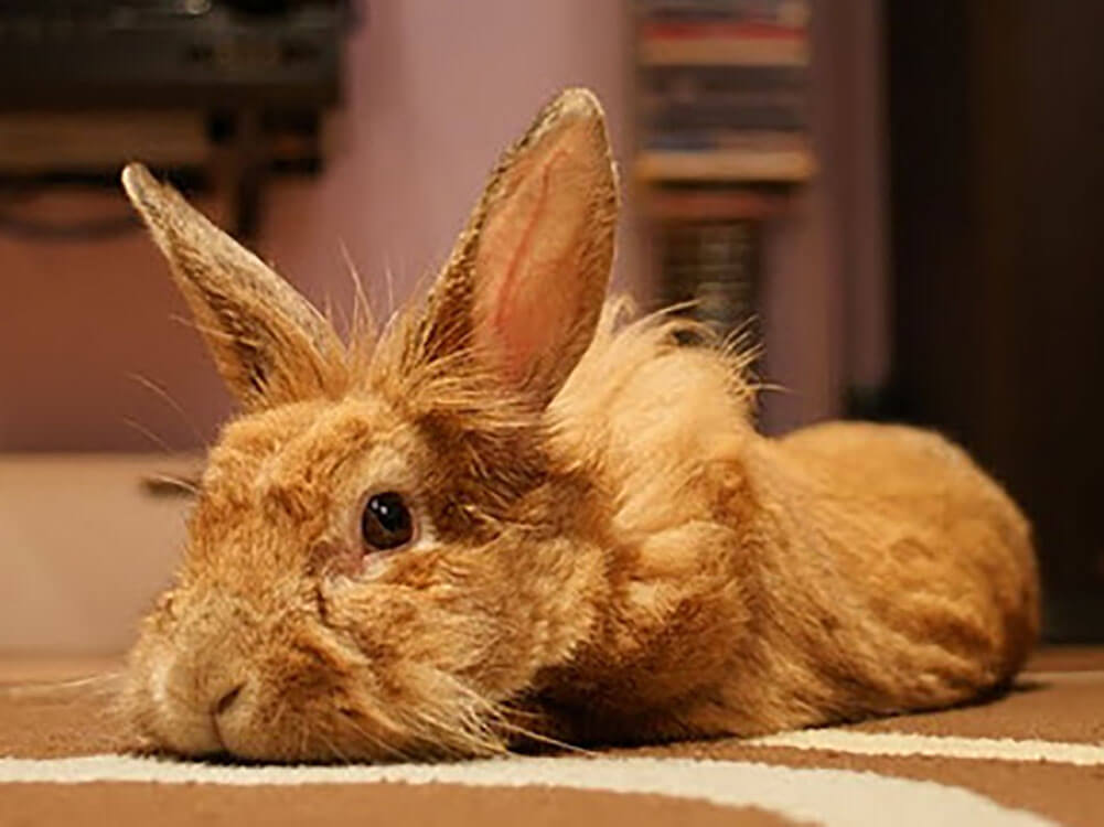 types of lionhead rabbits