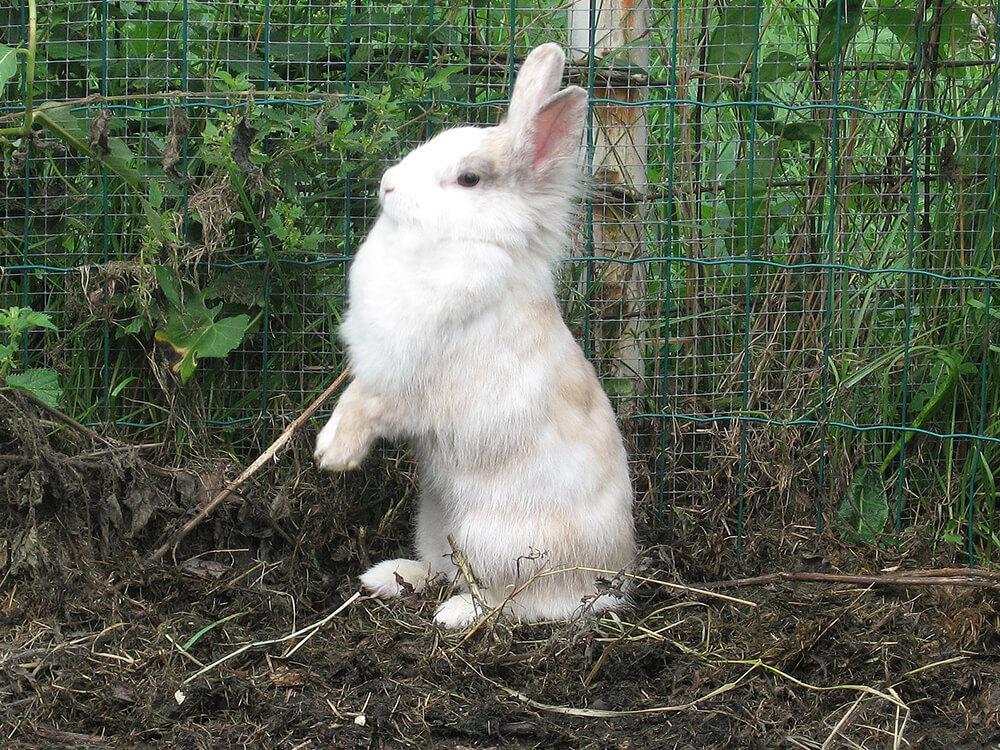 what can lionhead rabbits eat