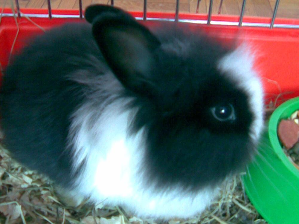 what do angora rabbits eat