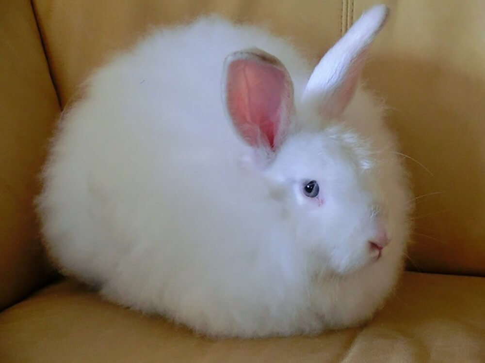 where are angora rabbits found