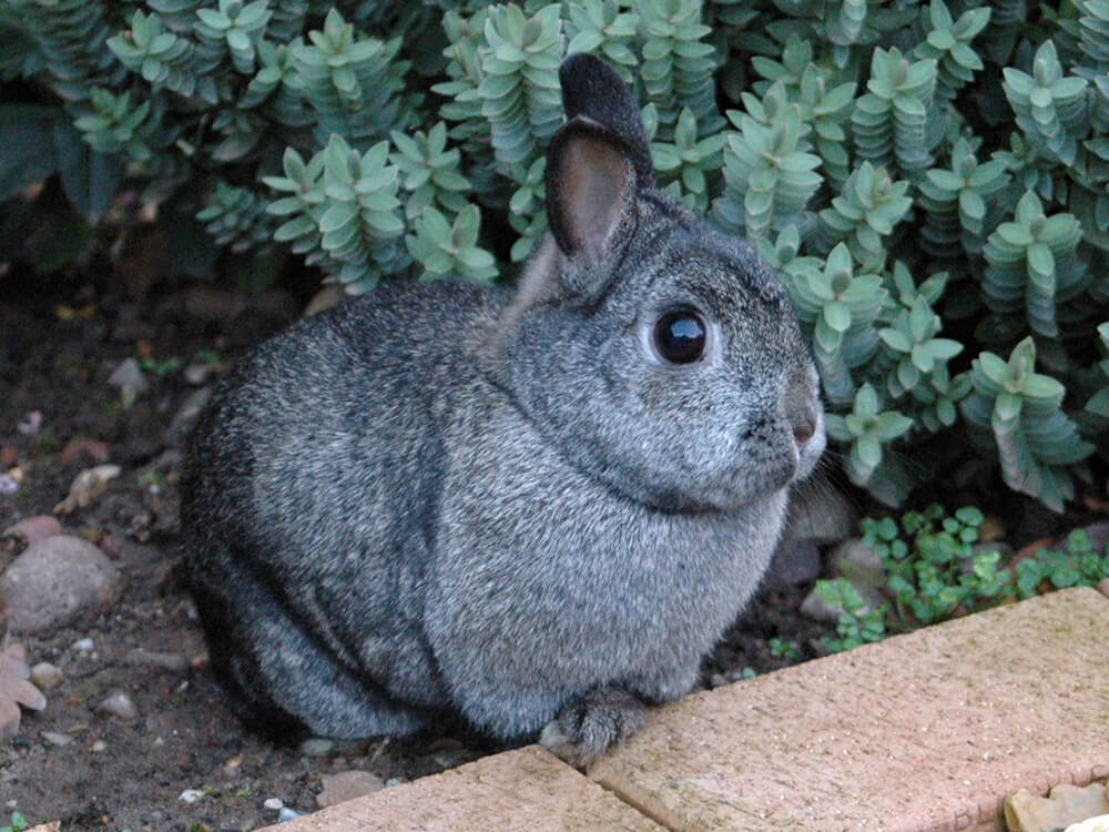 where can you buy netherland dwarf rabbits