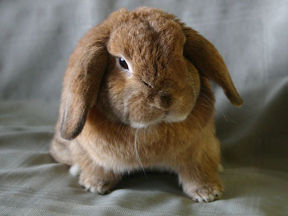 where do holland lop rabbits come from