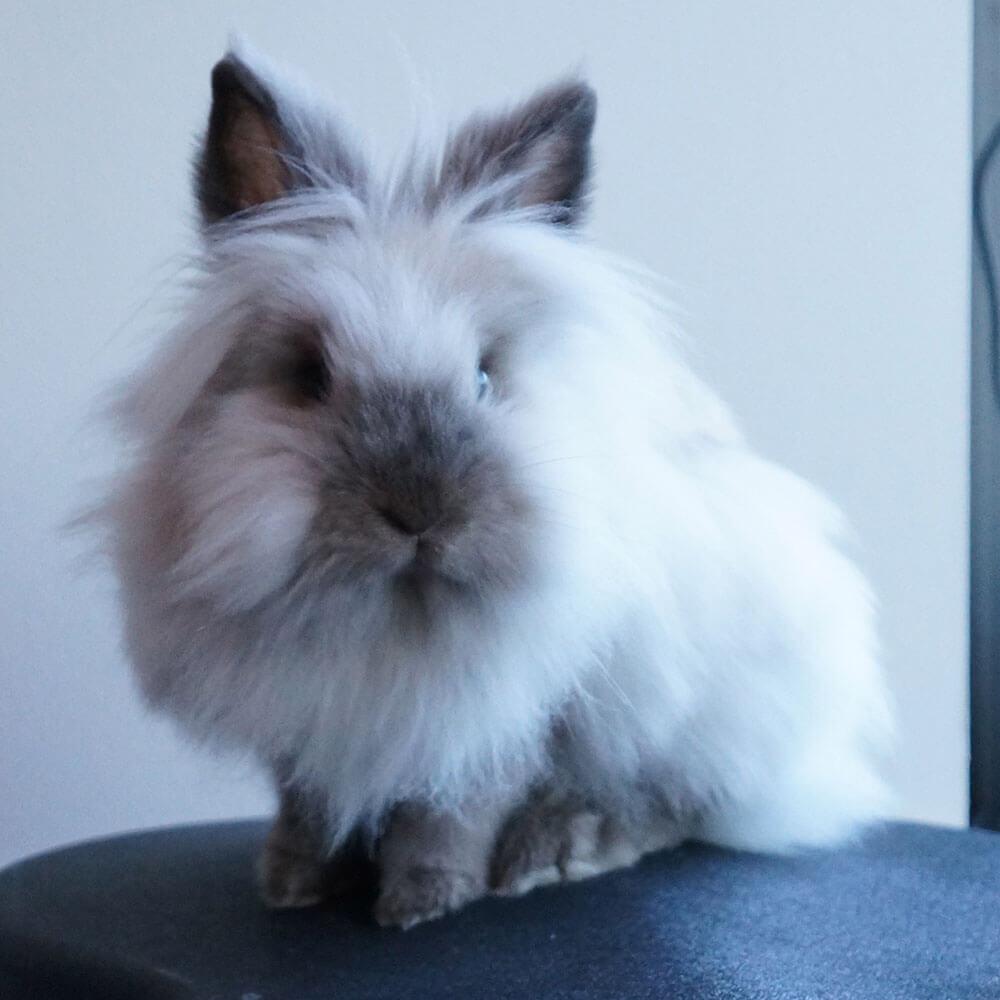 where dolionhead rabbits originate from