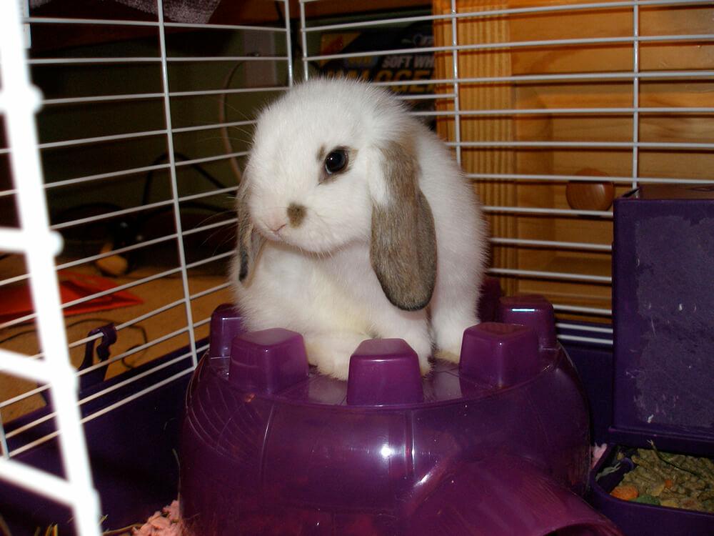 where do mini lop rabbits come from