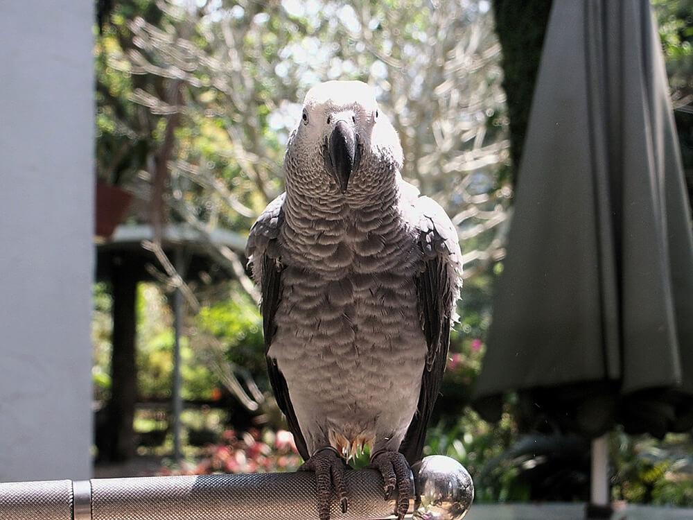 african grey parrot lifespan