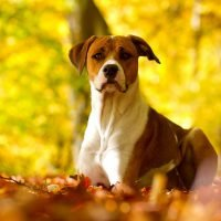 Everything You Need to Know About the American Staffordshire Bull Terrier Breed