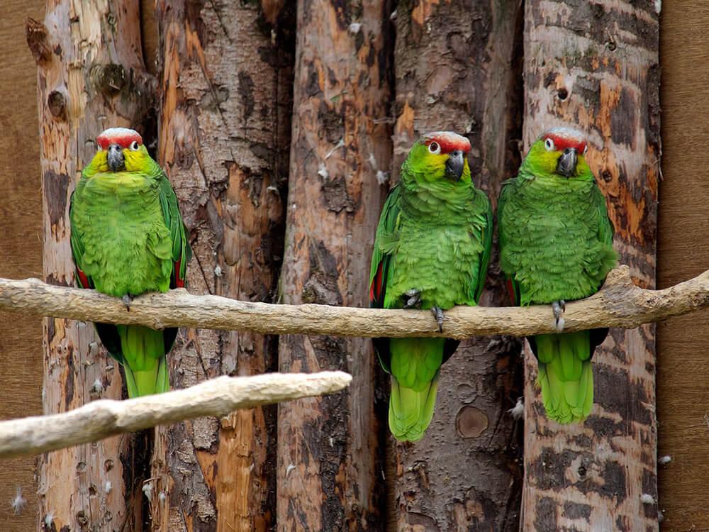 amazon parrot types