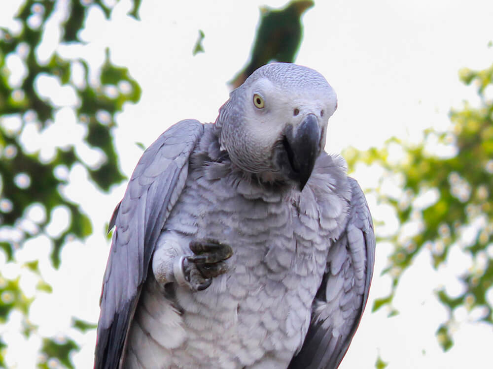 areafrican grey parrots good pets