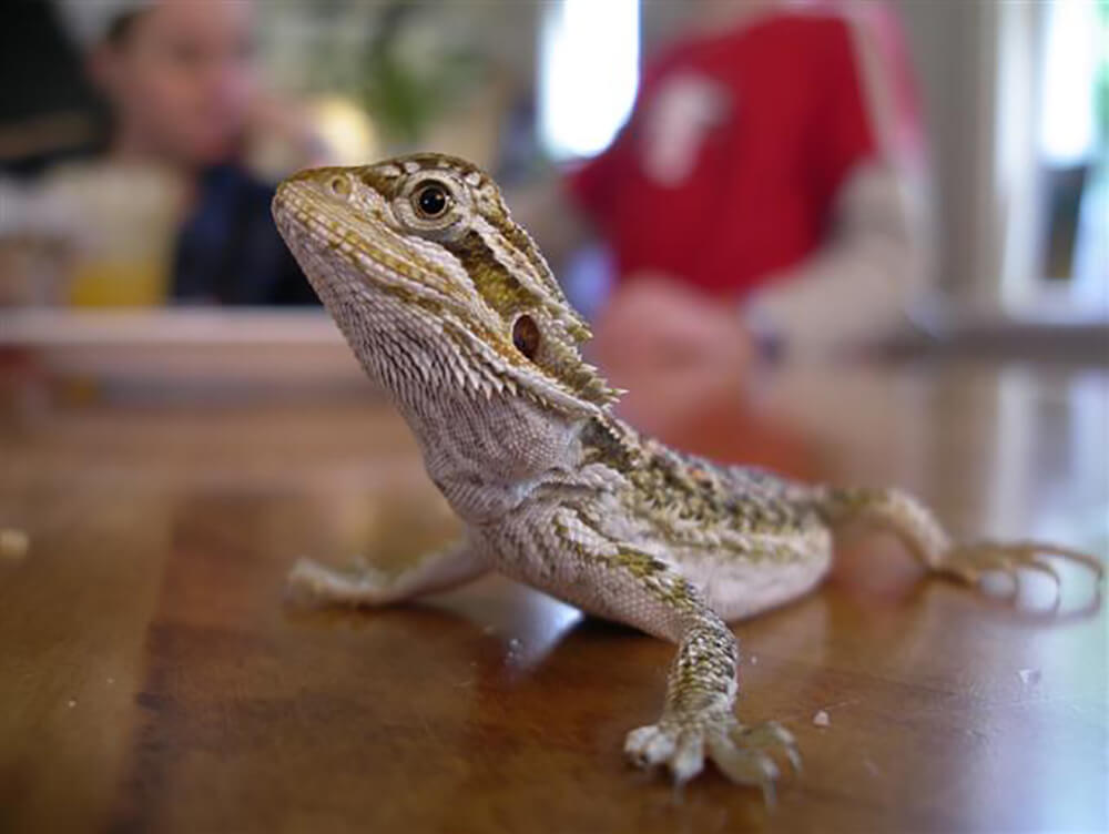 arebearded dragons good pets