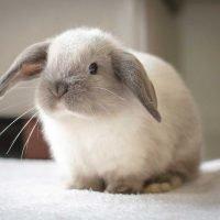 Mini Lop Rabbit Breed Information
