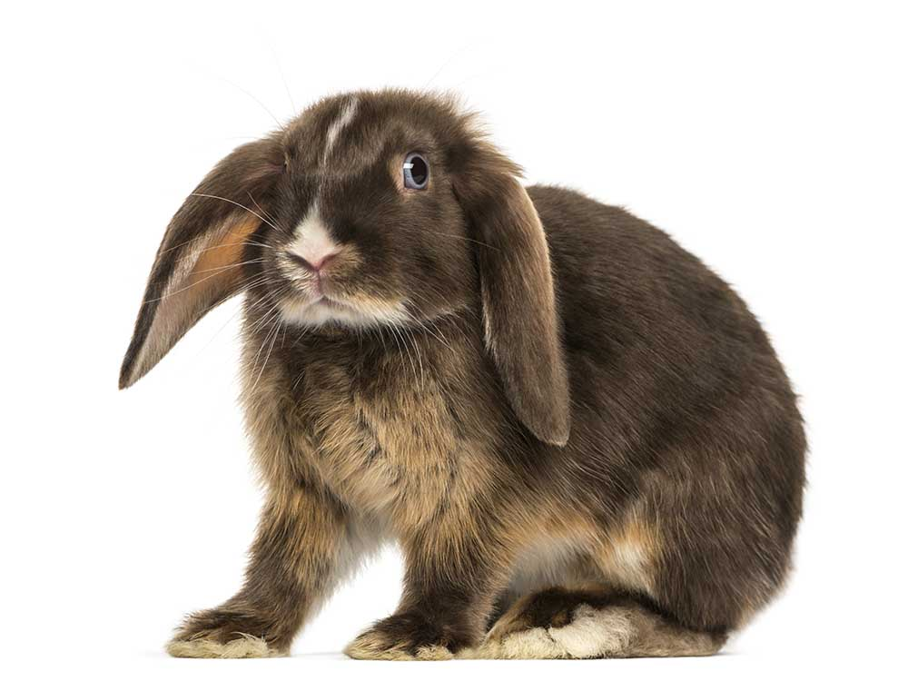 adult-mini-lop