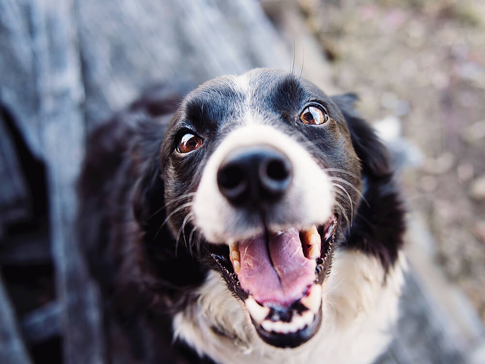 can cataracts be cured in dogs