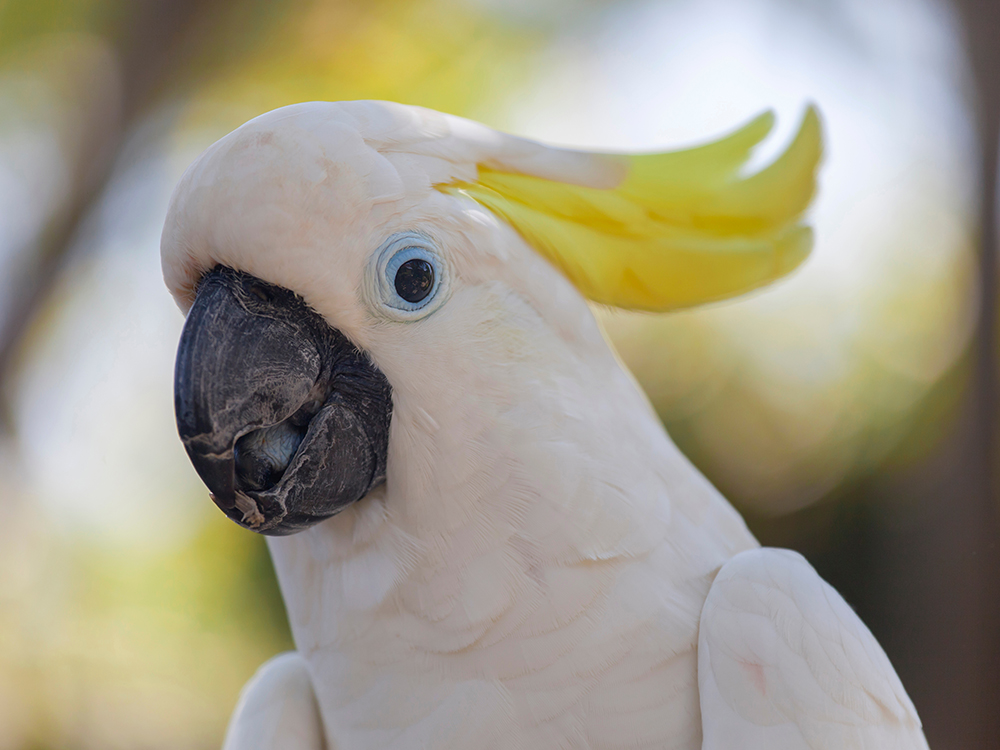 cockatoo breed facts