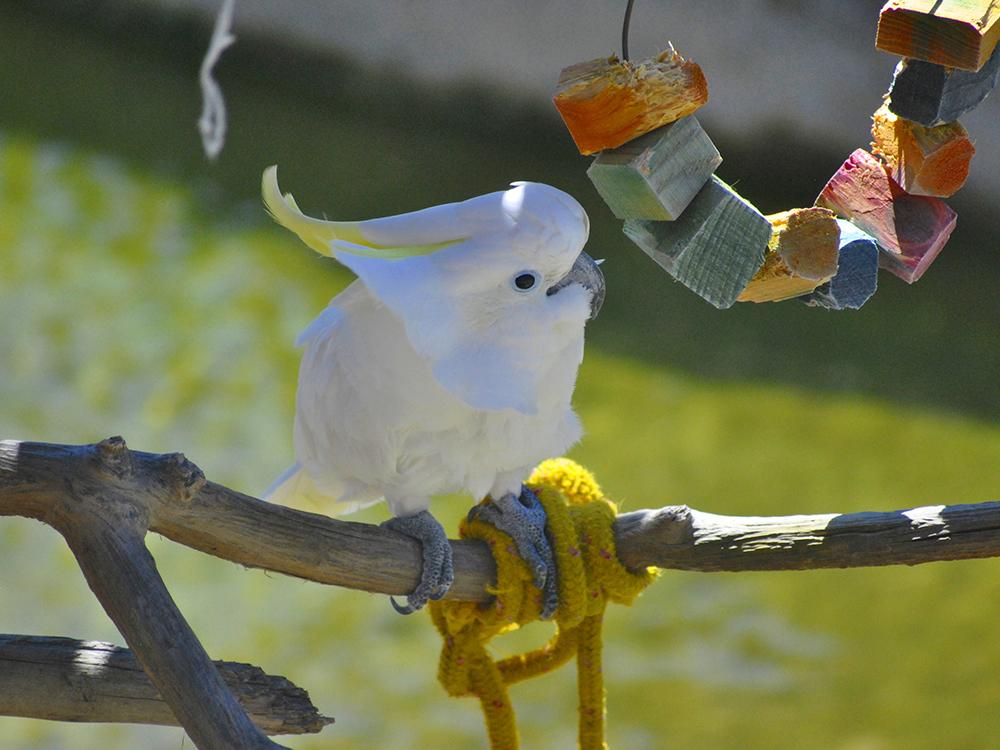 cockatoo care