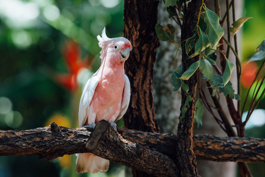 cockatoo-habitat