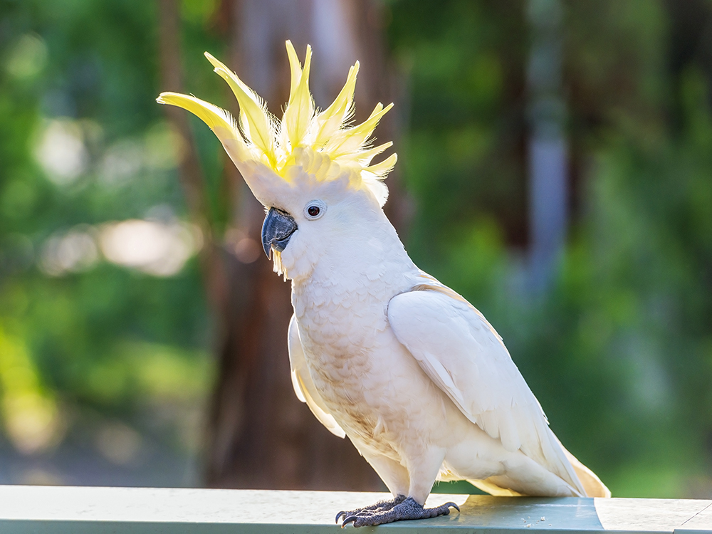 cockatoo health