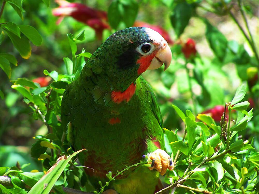 crowned amazon amazona