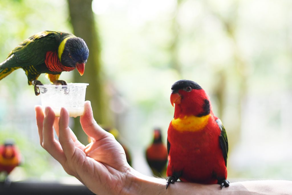 friendly-parakeet-birds