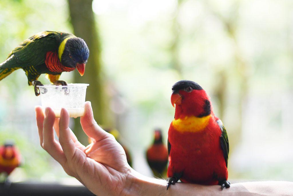 friendly-parakeet-birds