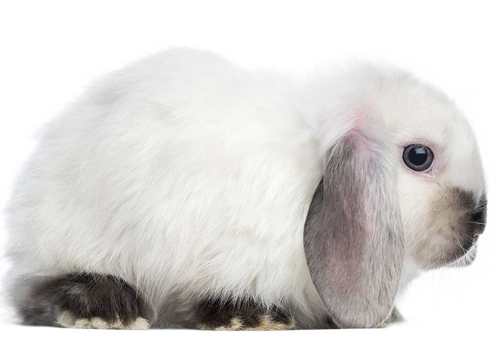 mini-lop-black-and-white
