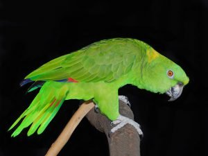 Amazon Parrot Bird Breed Information