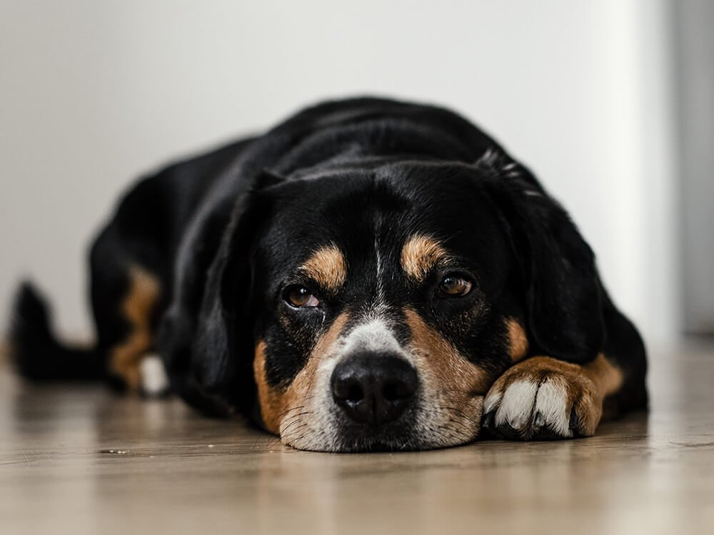 how is hip dysplasia in dogs treated