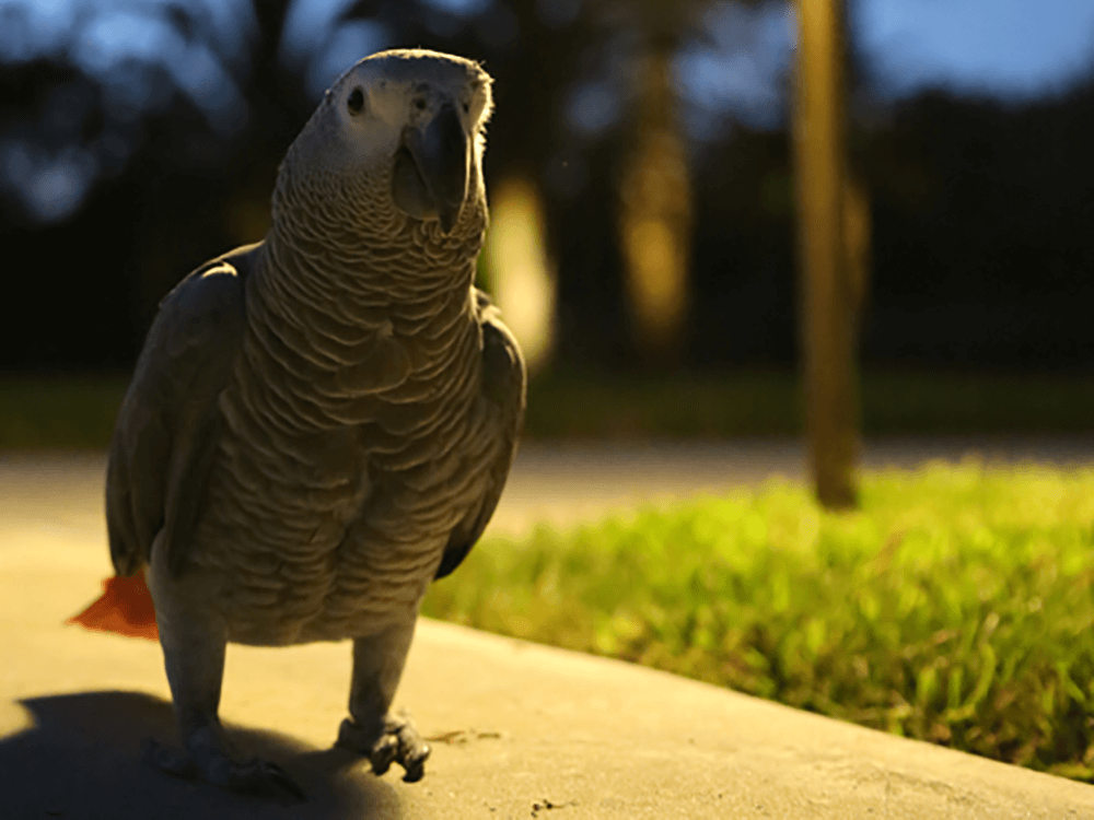 how long do African grey parrots live
