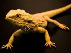 Everything You Need to Know About the Bearded Dragon as Pets