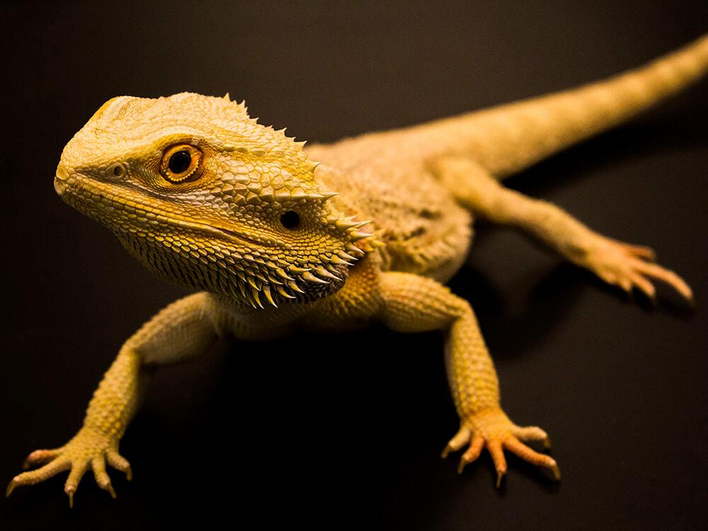 how long do bearded dragon live
