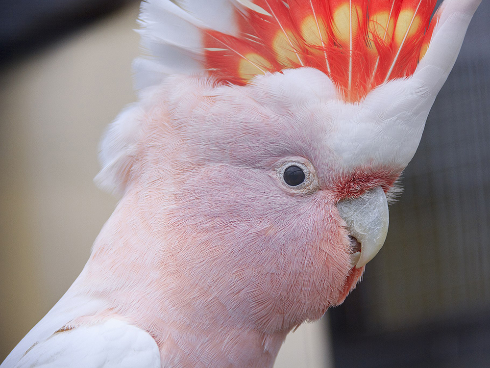 how much is a cockatoo