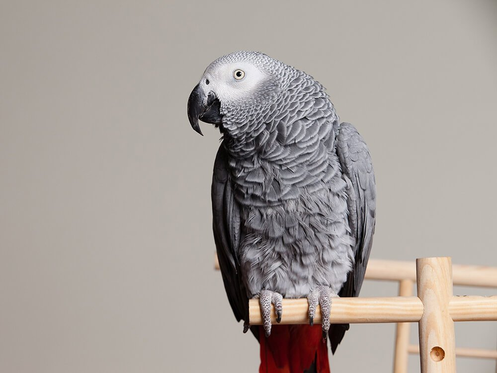 how much is an African grey parrot
