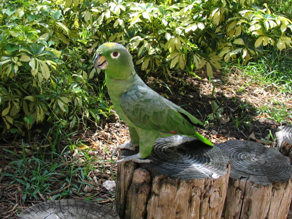 how old do amazon parrots live