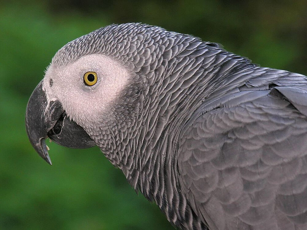 how smart are African grey parrot