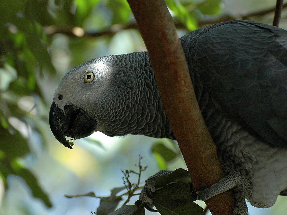 how to care for African grey parrot