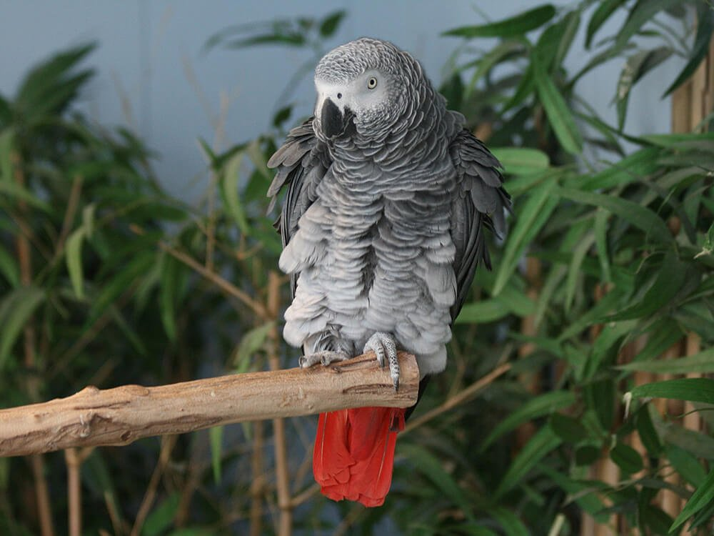 how to identify male and female african grey