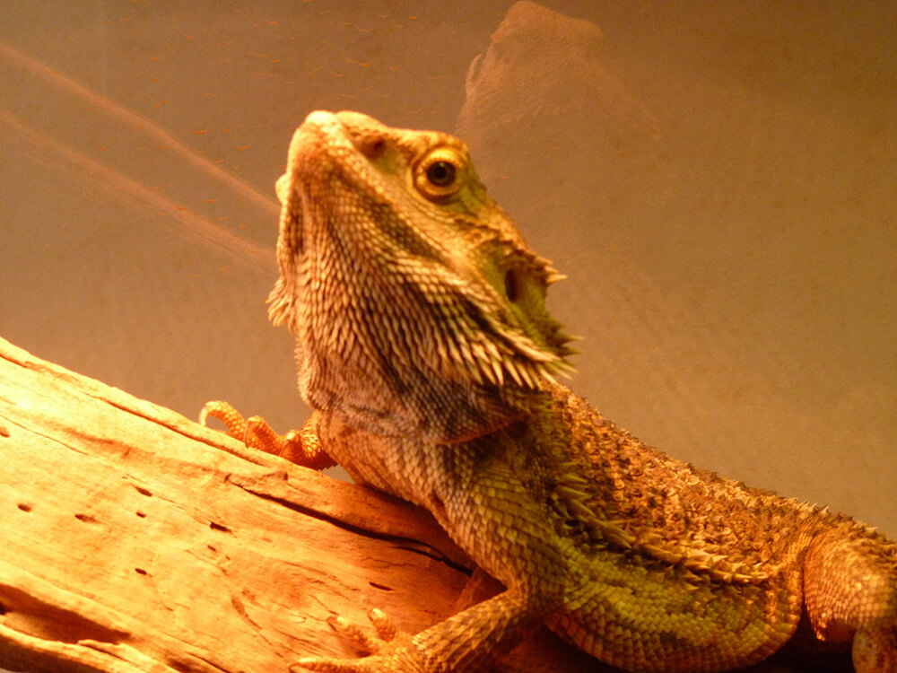 how to look after a bearded dragon.