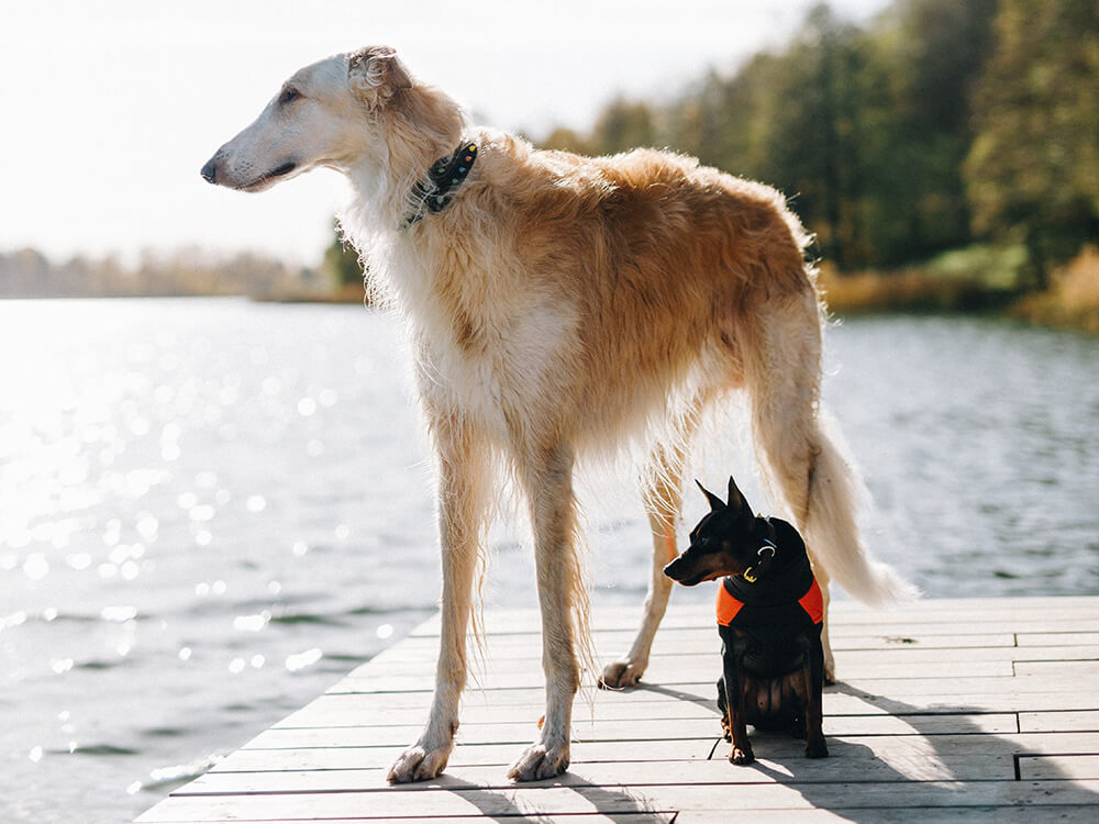 is hip dysplasia in dogs hereditary