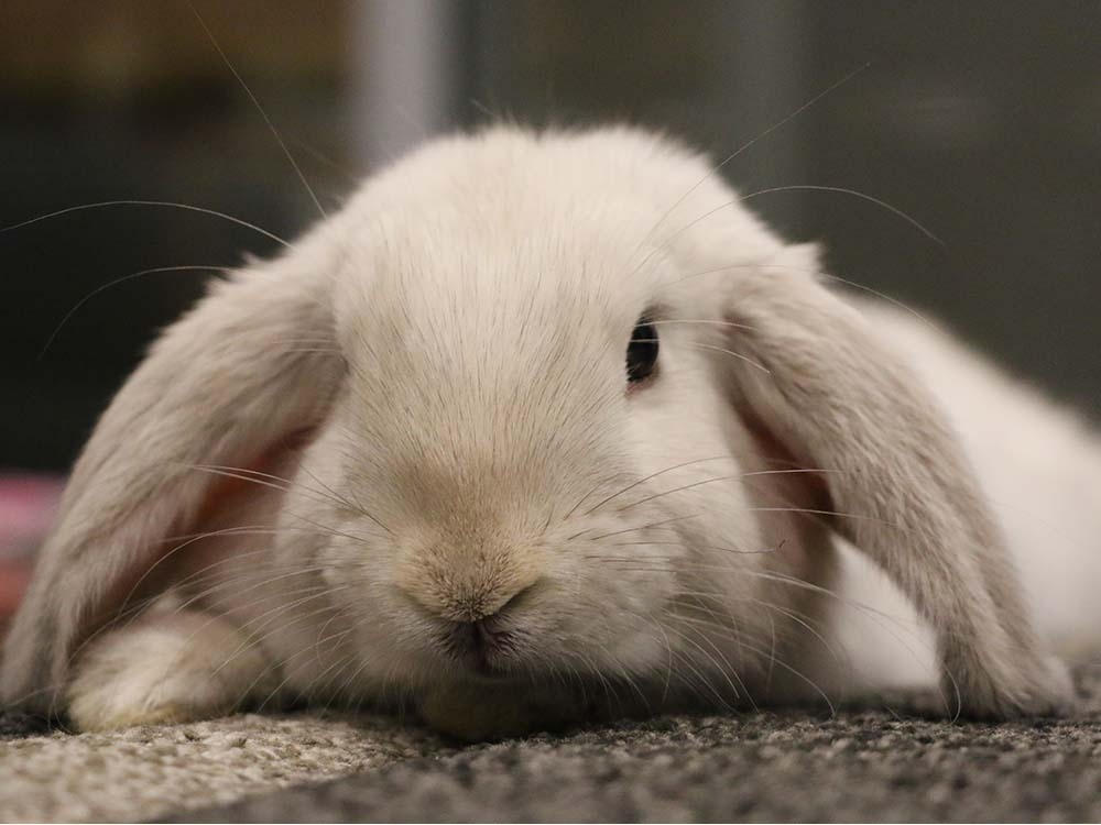 babe-mini-lop-bunny