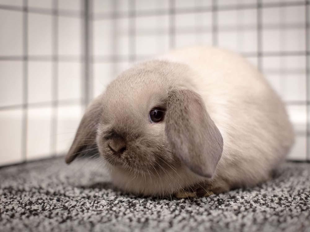 mini-lop-rabbit-housing