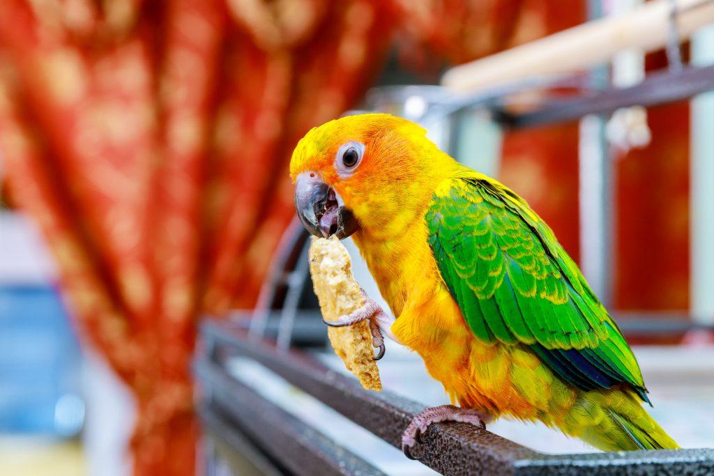 parakeet-feeding