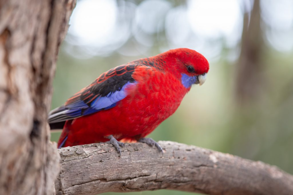 red-and-blue-parakeet