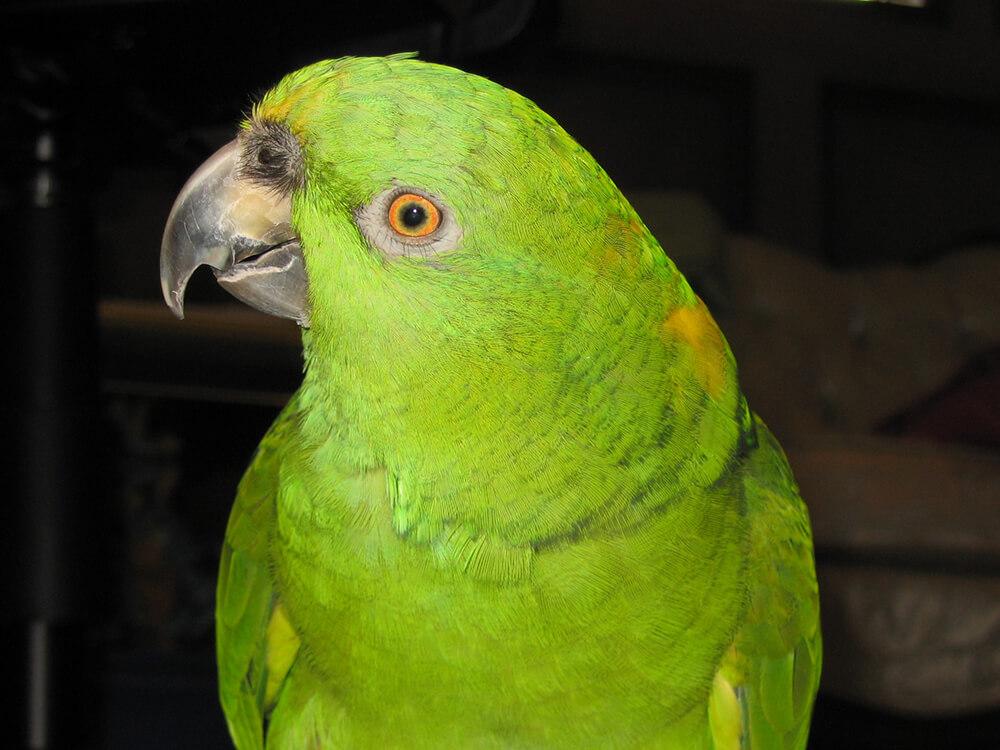 what can amazon parrots eat