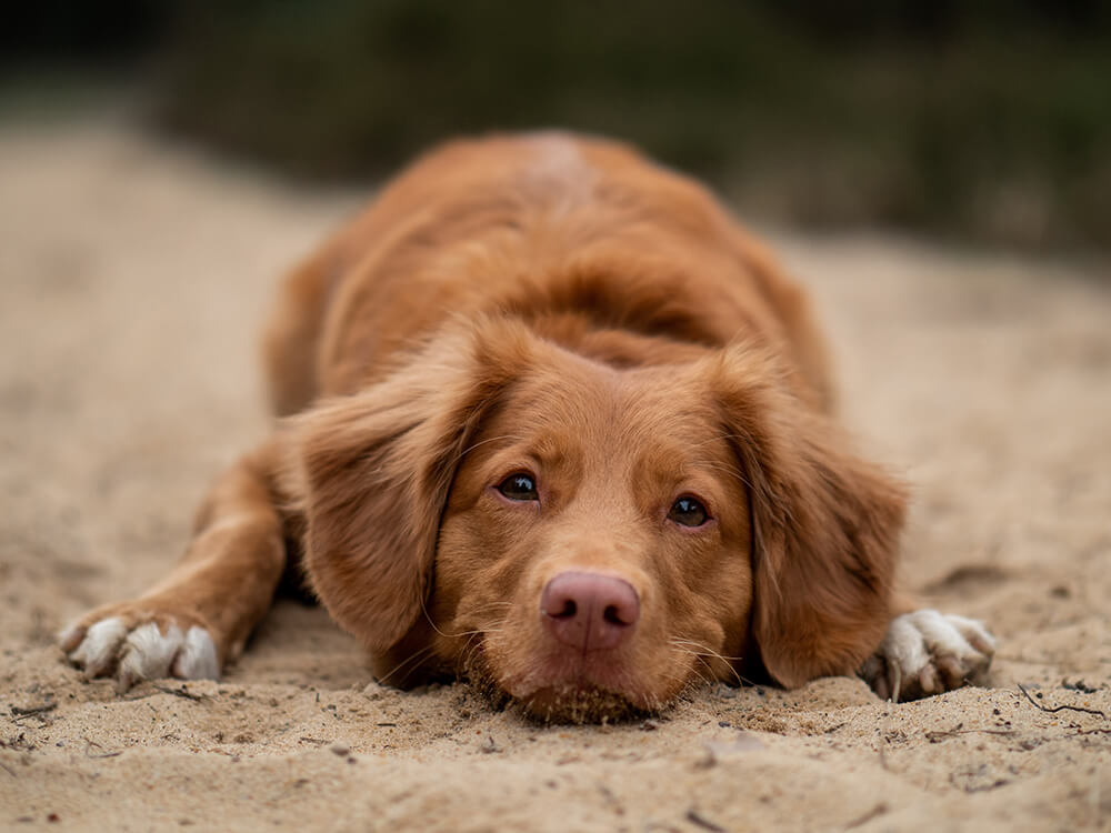 what is hip dysplasia in dogs